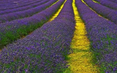 """Essential Oils and Aromatherapy: """"Natural"""" Mental Health"""